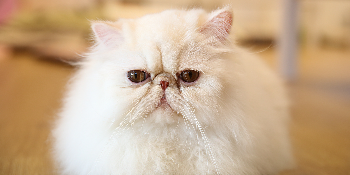 Severe brachycephalic in Persian and related breeds
