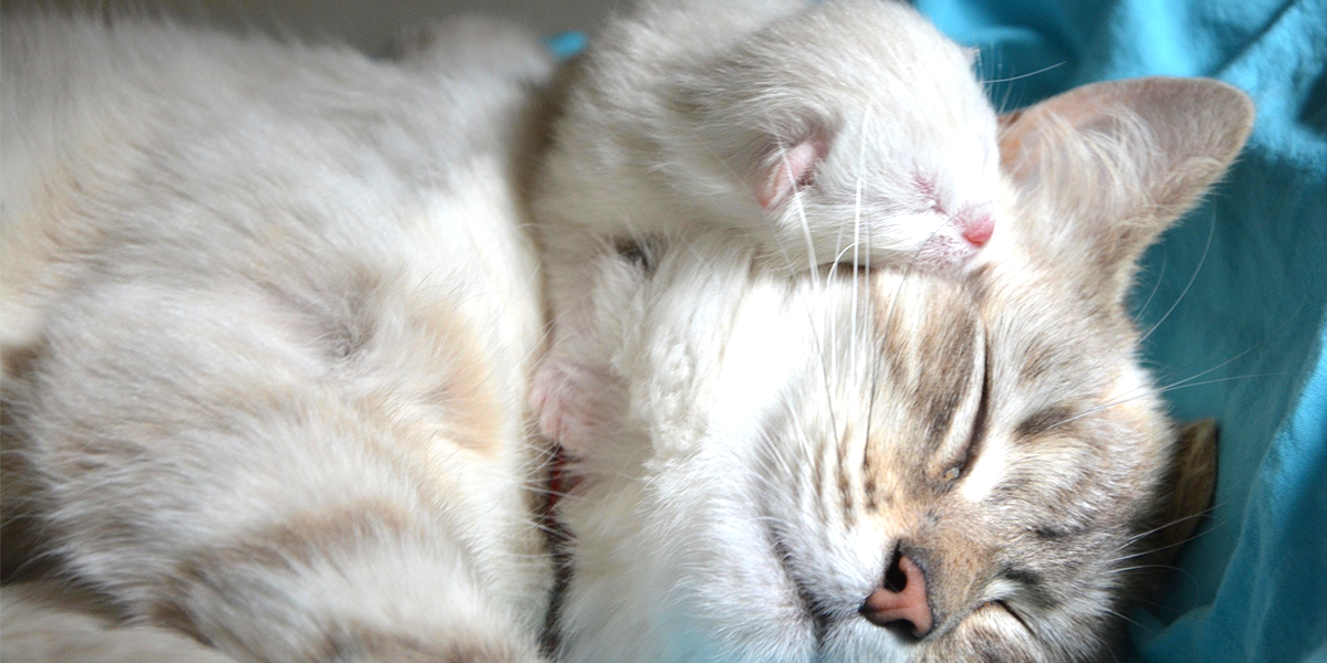 Difficult Cat Birth When To Wait And When To Worry International Cat Care
