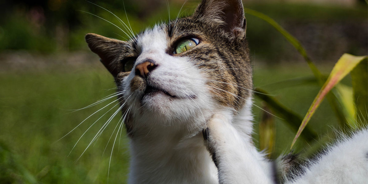 Fleas and flea control in cats