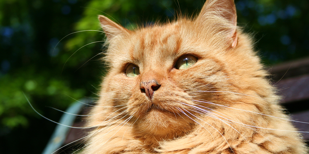Bordetella Bronchiseptica Infection in Cats