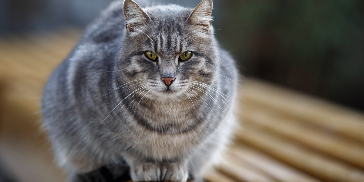Liver Disease in Cats