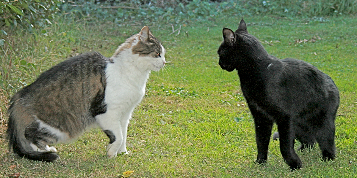 Aggression Between Cats International Cat Care