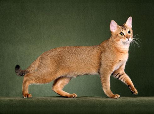 Chausie | International Cat Care