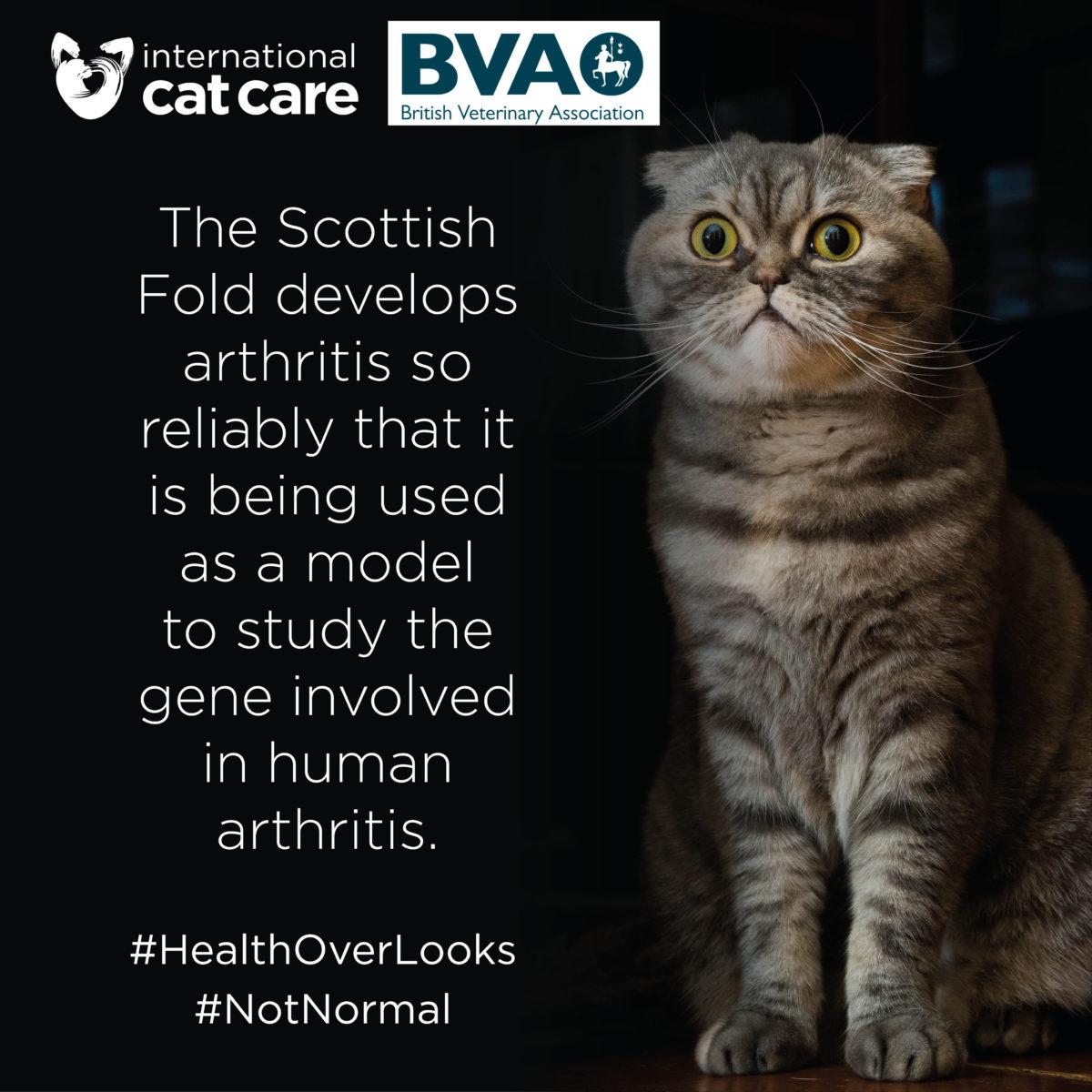 Scottish Fold Disease Osteochondrodysplasia International Cat Care