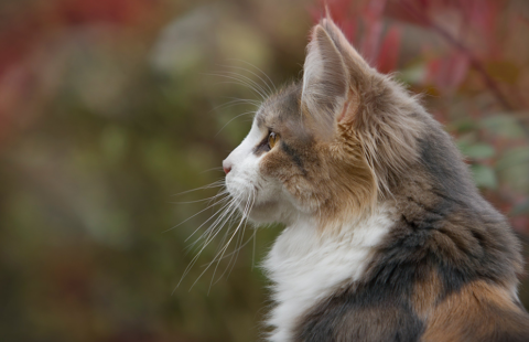 Upper respiratory infections (URIs, Cat flu) – information for breeders