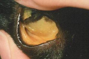 Doença hepática em gatos 1