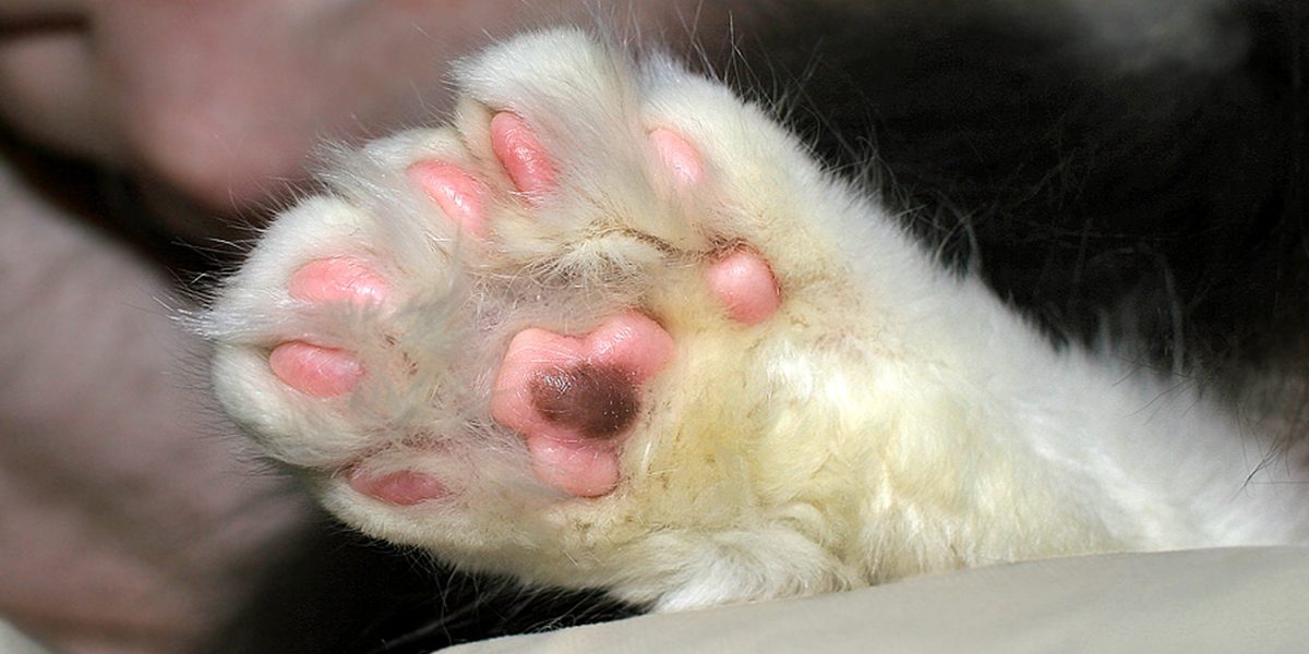 Polydactyl cats (cats with extra toes)