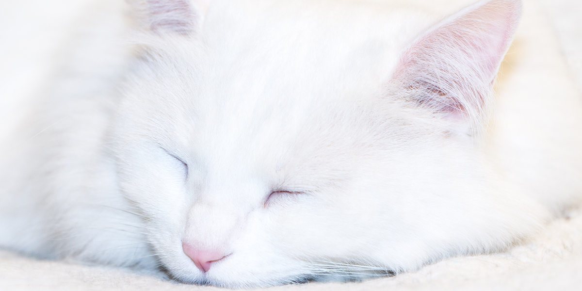 Inherited Deafness in White Cats