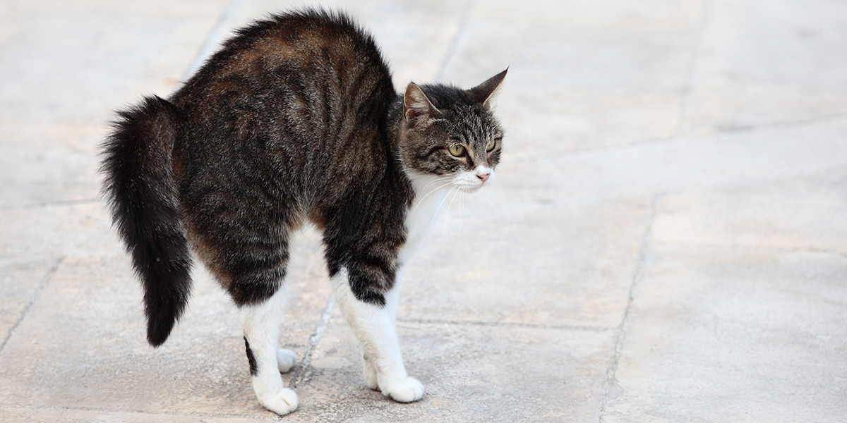 What does it mean when a cat's tail goes bushy?