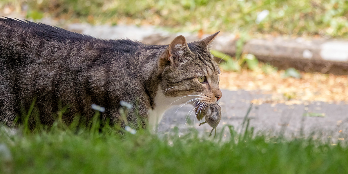 Why do cats bring home dead prey?