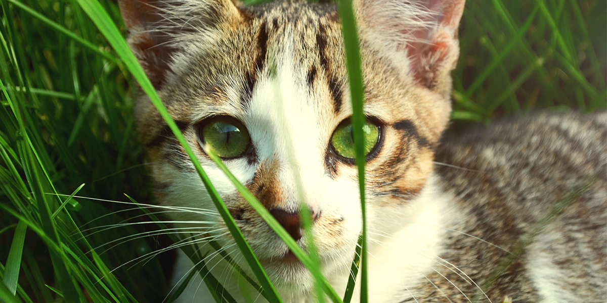 Why do cats like to nibble grass?
