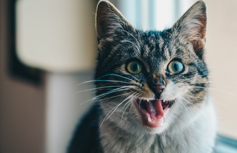 Why do some cats miaow and others don't?
