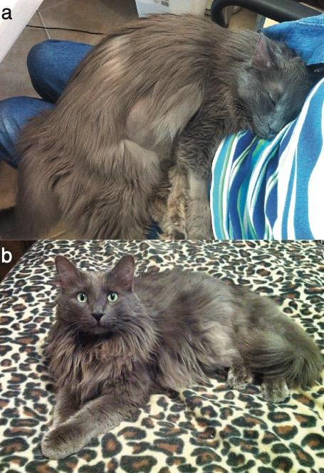 feline fip homeopathic treatment