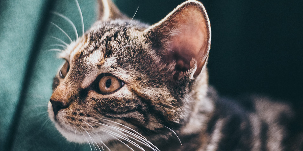 Helping your cat accept having its ears checked – video