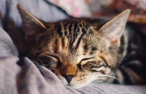 Spotlight on Science: Motivation of owners to purchase pedigree cats