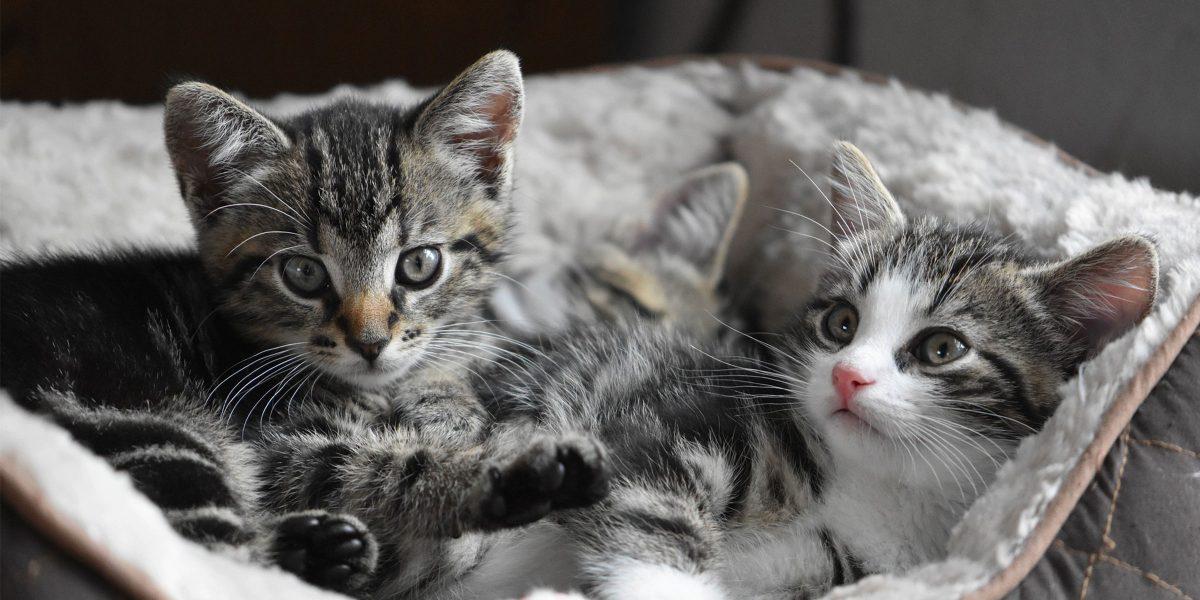 Spotlight on Science: Cross-sucking behaviour in kittens