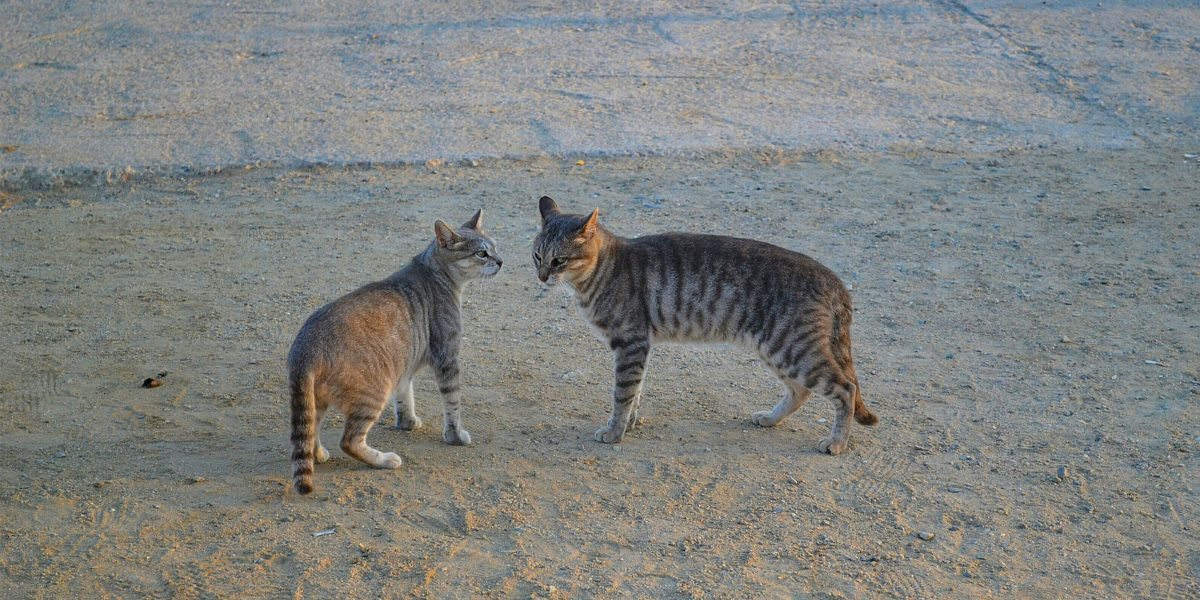 Lost in translation: has our selective breeding of cats limited their ability to communicate?